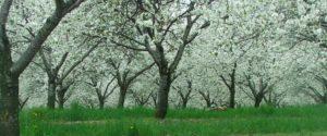 weiße Sauerkirsch Blüten