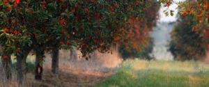 Sauerkirsch-bäume